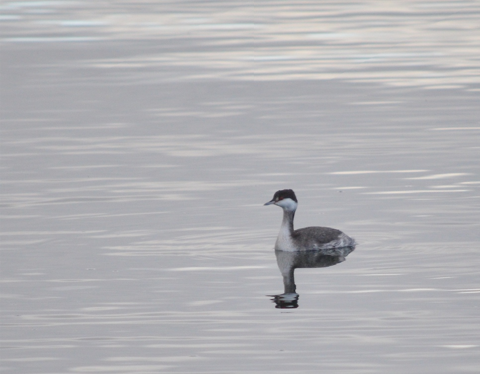 01 Horned grebe at Port Orchard.jpg
