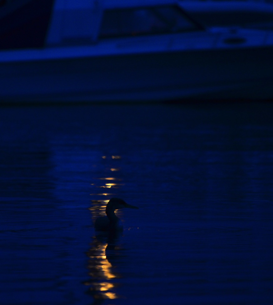 01 Horned grebe before dawn.jpg