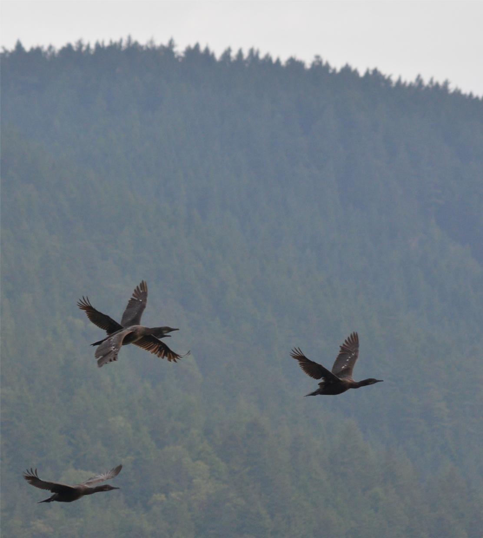02 Flock of Brandt's cormorant.JPG