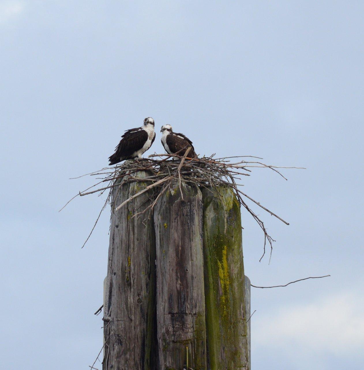 02 Ospreys atop pilings.JPG