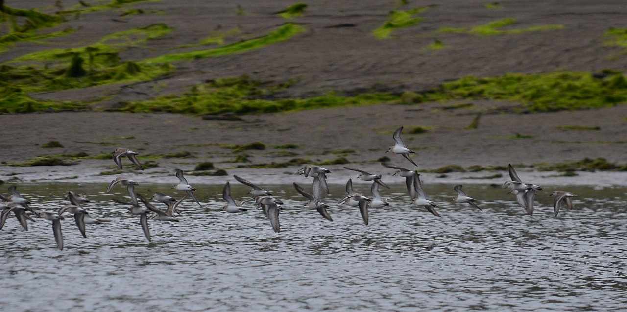 02 Western sandpipers Quinault River.JPG