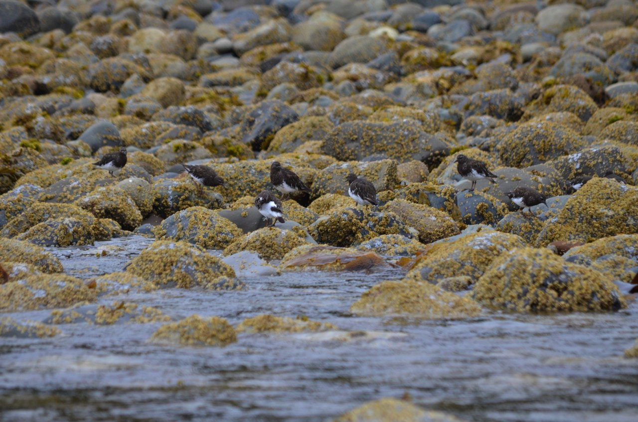 03 Black turnstones winter in Cumshewa Inlet.jpg