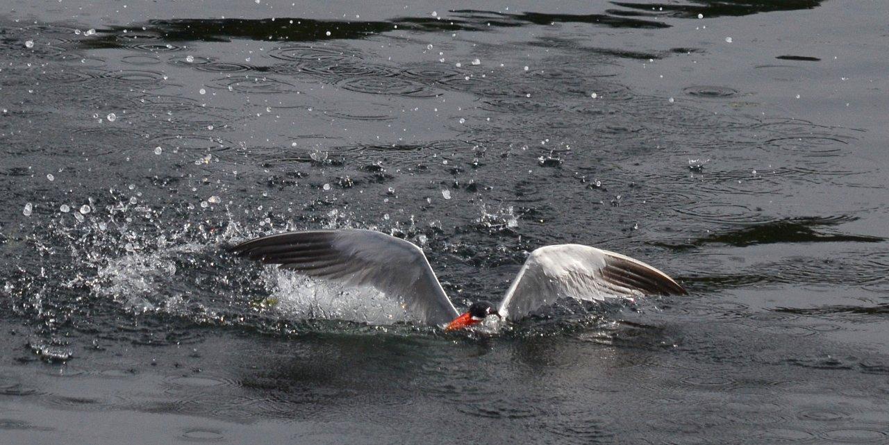 03 Caspian tern surfacing.JPG