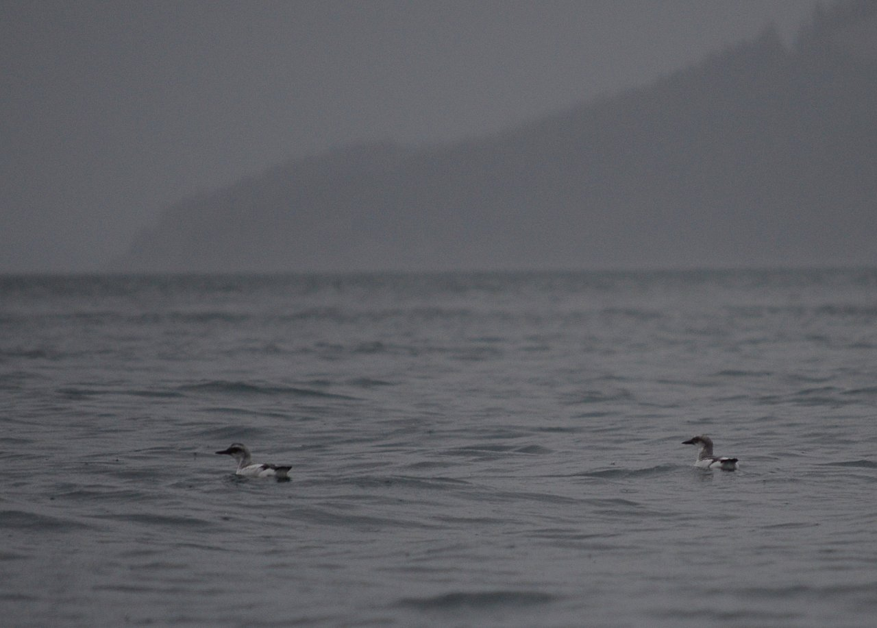 03 Pigeon guillemots in Spieden Channel.JPG