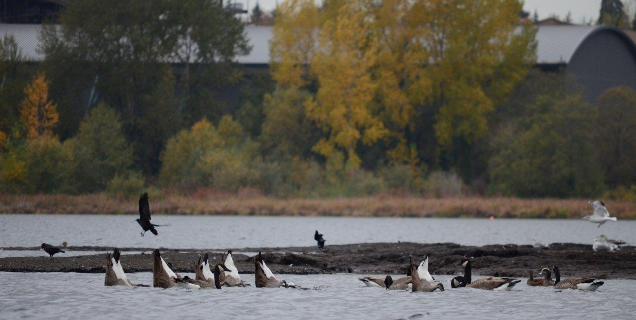 04 Geese foraging.JPG