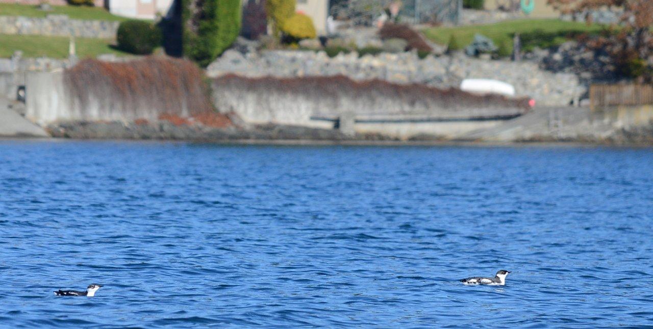 04 Marbled murrelets in Cadboro Bay.JPG