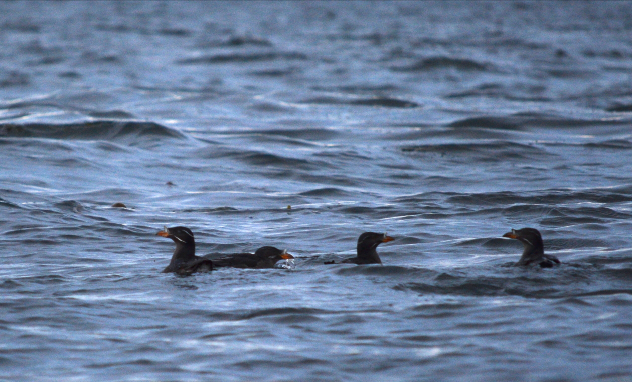 05 Small flock of auklets.JPG