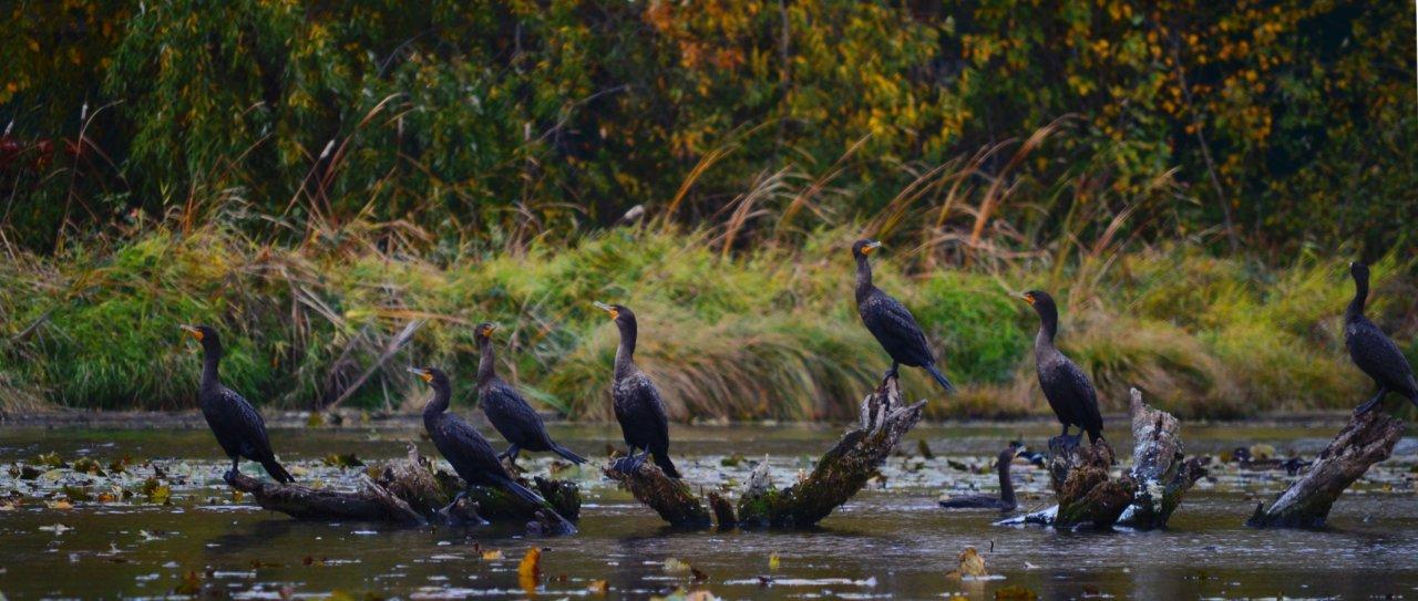 06 Double-crested cormorants.JPG