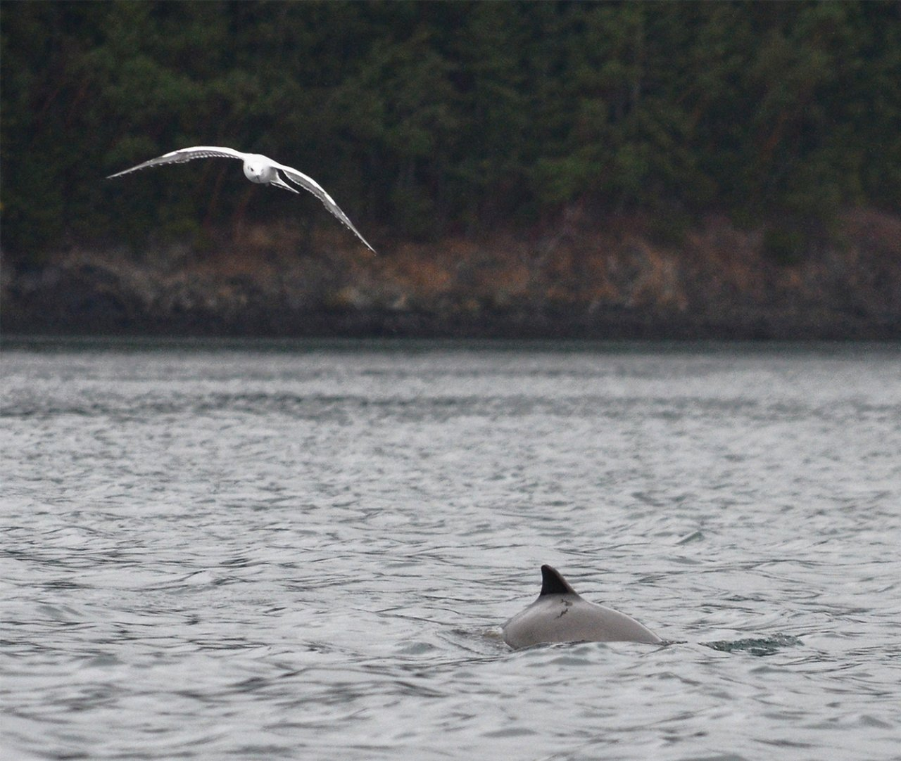 06 Harbor porpoise and Bonapartes gull.JPG