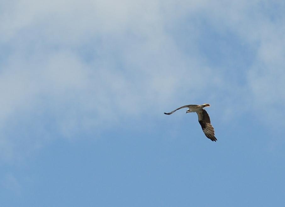 06 Osprey over Saturna Island.JPG