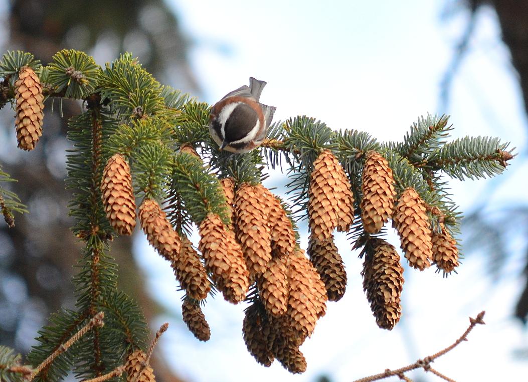 07 Chestnut-backed chickadee.JPG