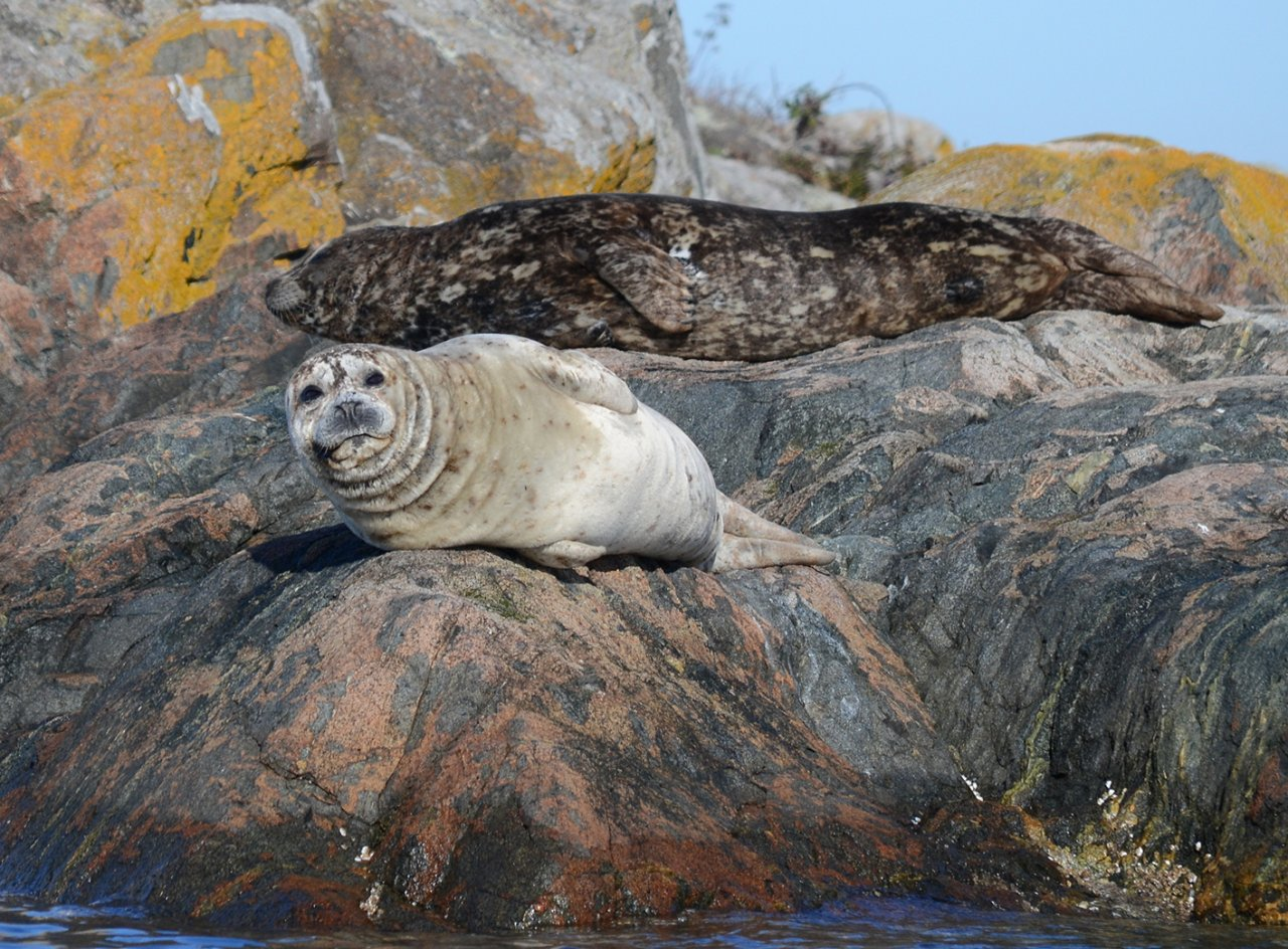 07 Harbor seals in Chatham Islands.JPG