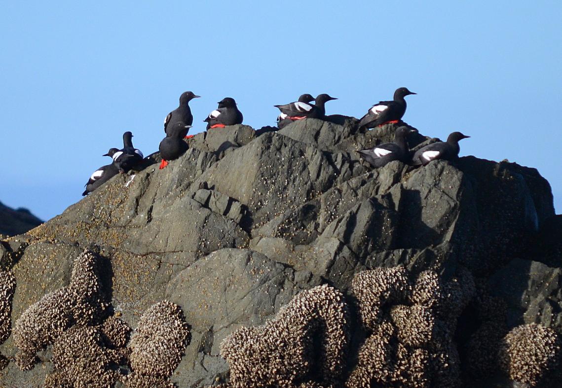 07 Pigeon guillemots Quileute Needles.JPG