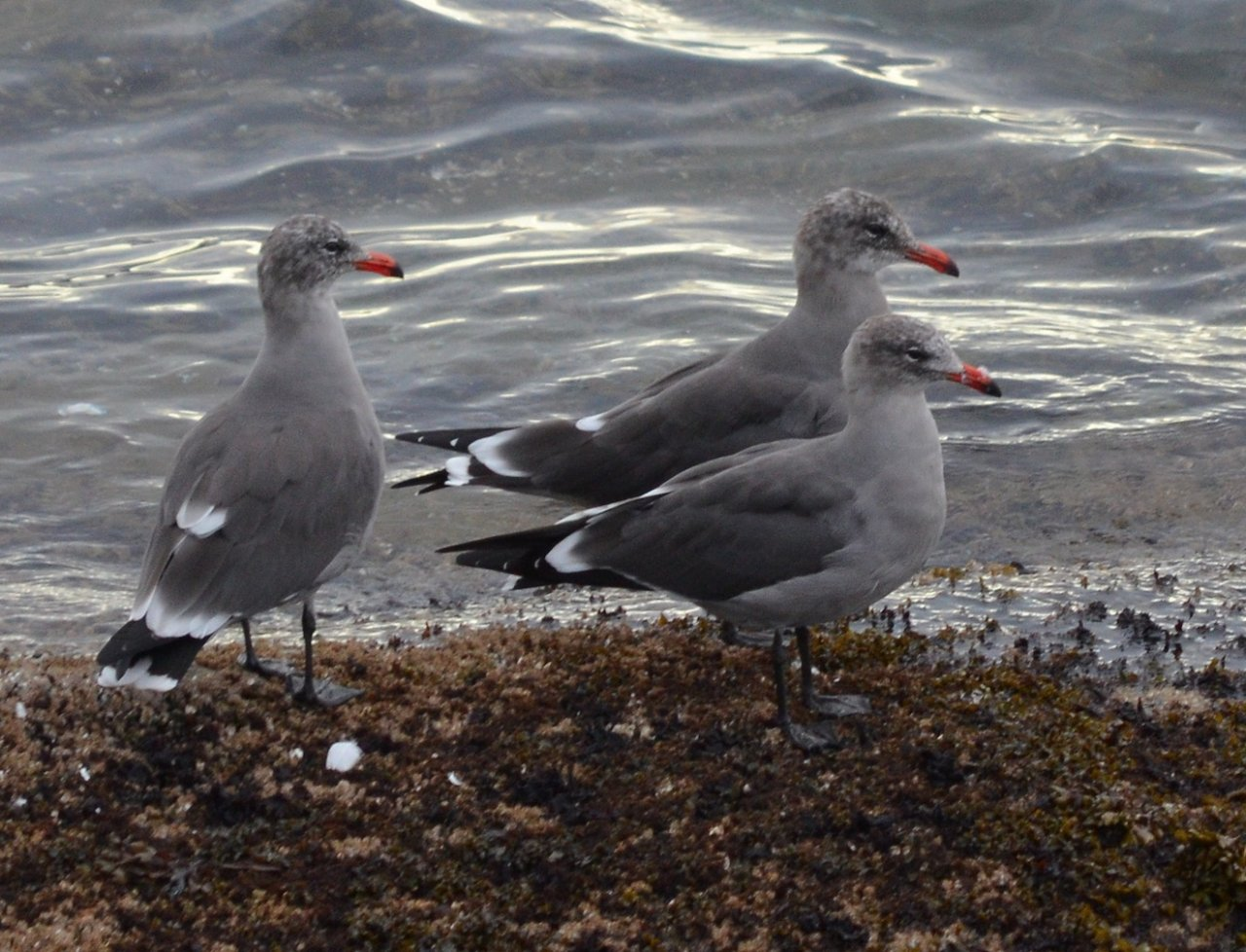07 Three Heermans gulls.jpg