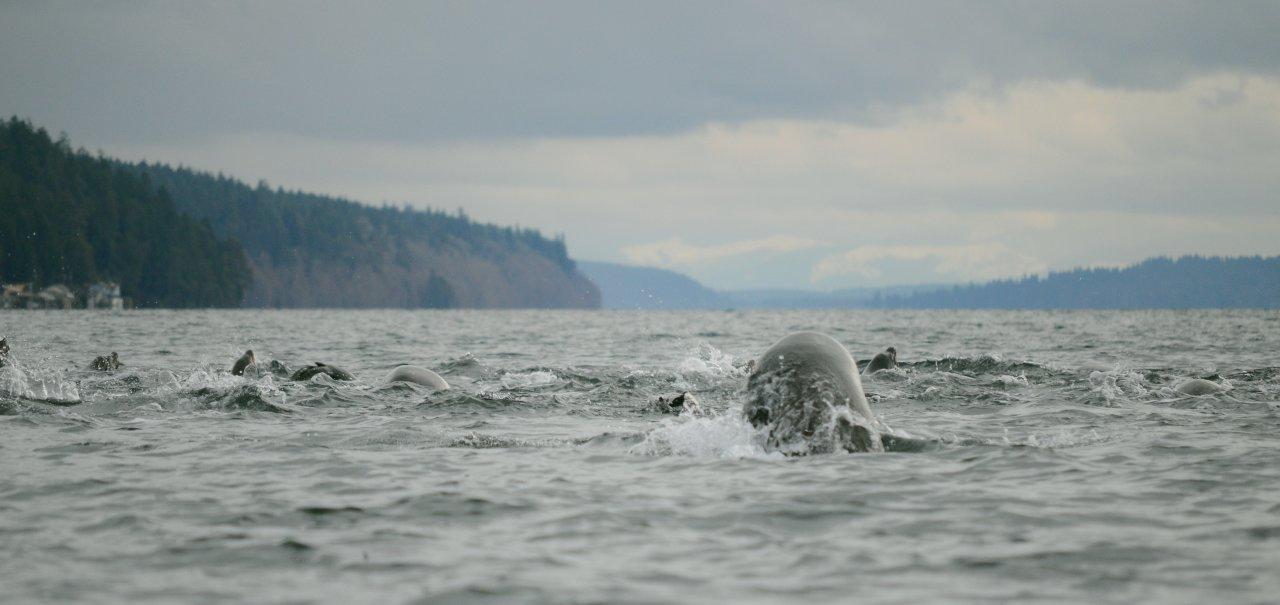 08 California sea lions departing.JPG