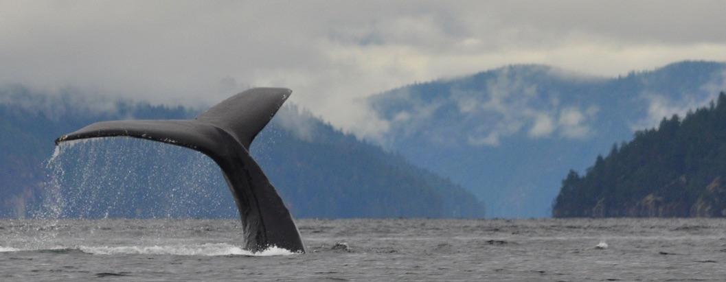 08 Diving humpback at Sarah Point.jpg