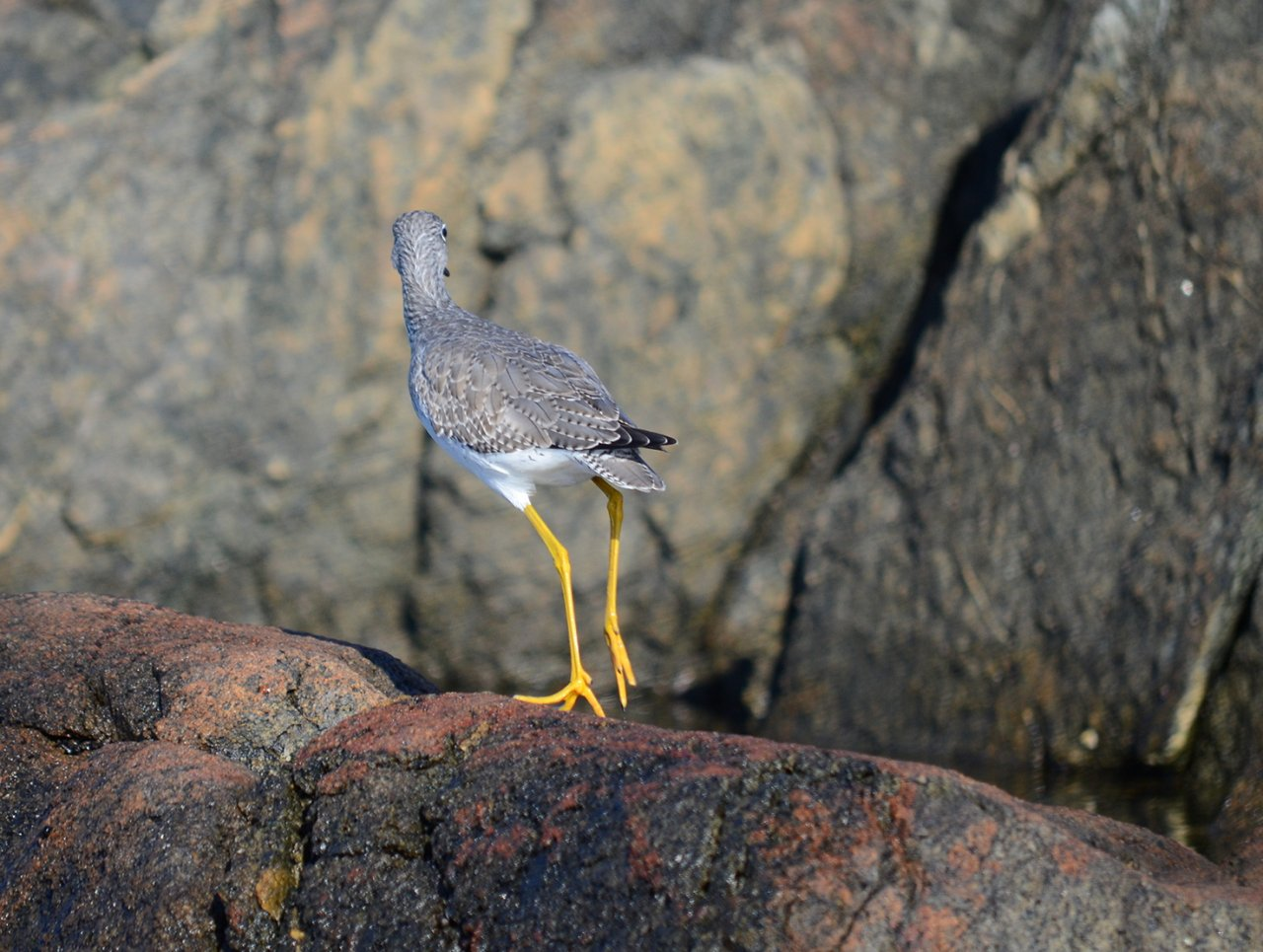 08 Greater yellowlegs in Chatham Islands.JPG