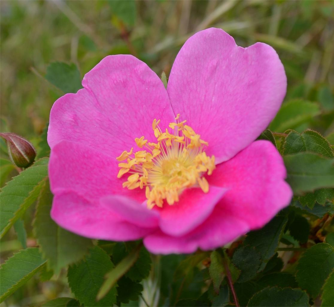 08 Nootka rose.JPG