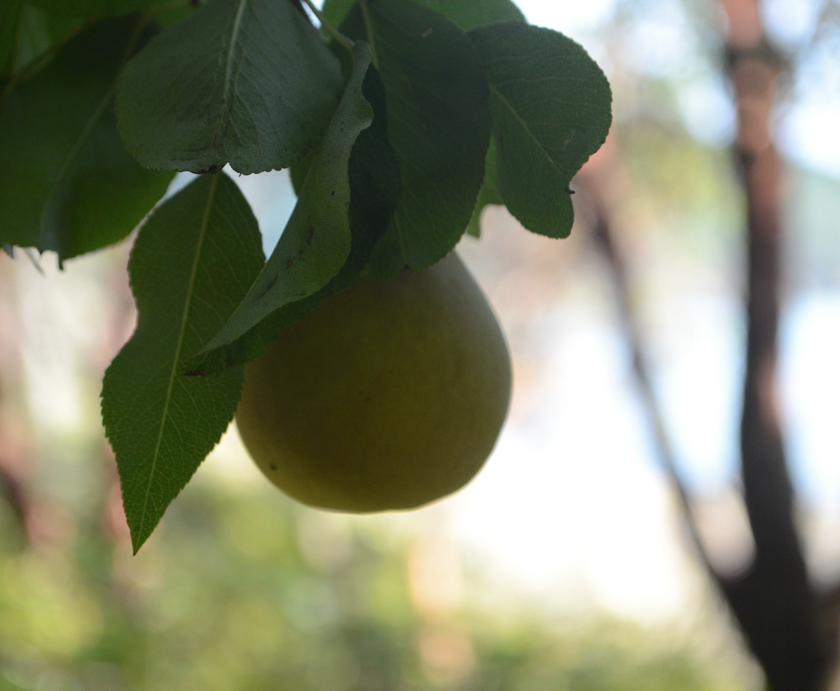 08 Pear at campsite.JPG