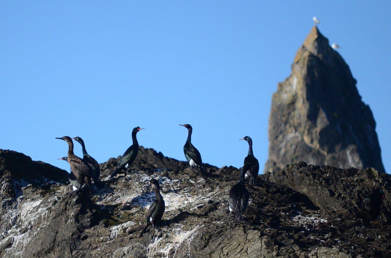 09 Cormorants Quileute Needles.JPG