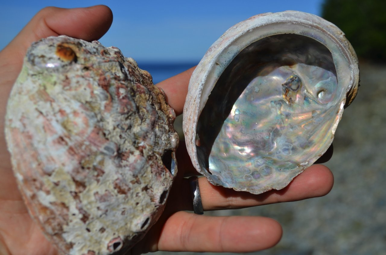 09 Endangered northern abalone.jpg