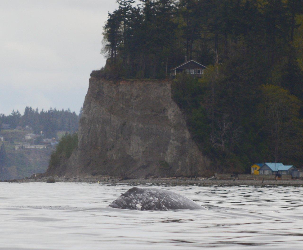 09 Gray whale near Hat Island.JPG