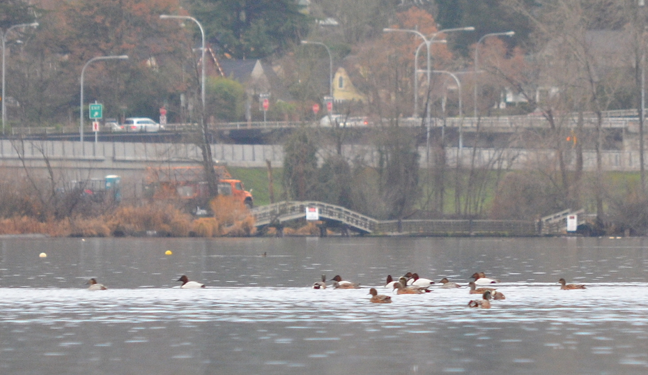 10 Canvasbacks and American wigeon.JPG