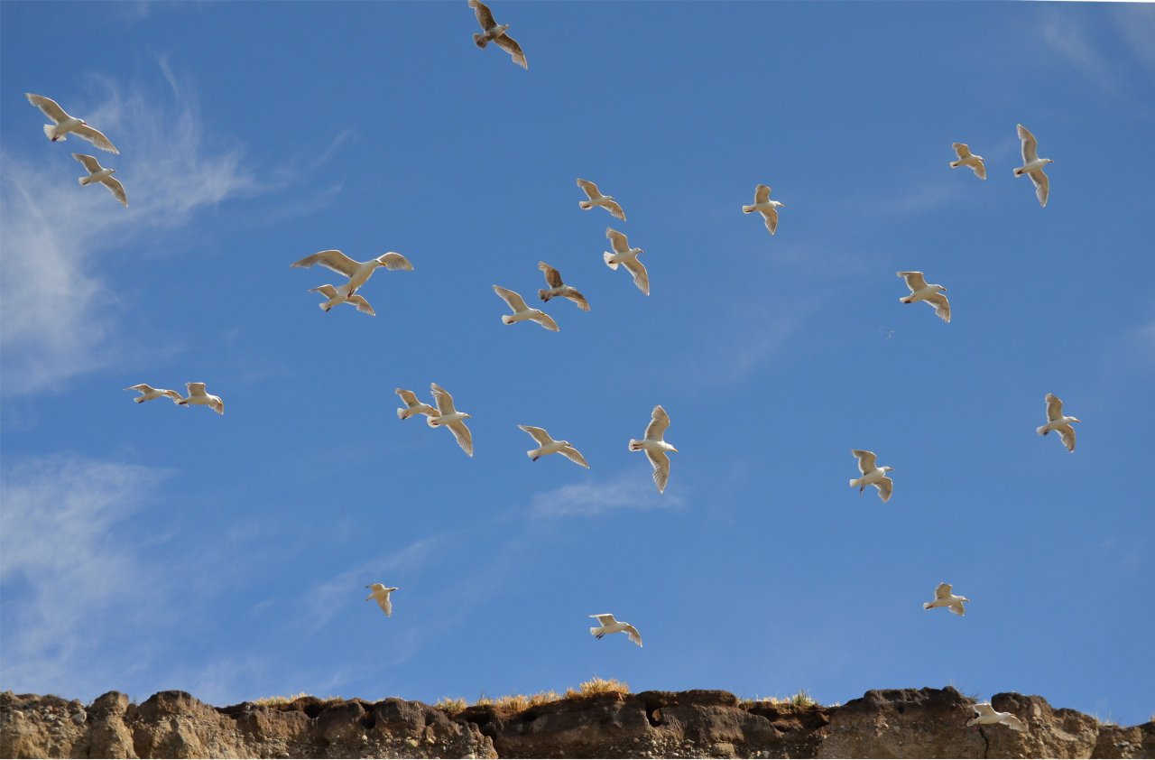 11 Gulls flying over the nesting cliffs.JPG