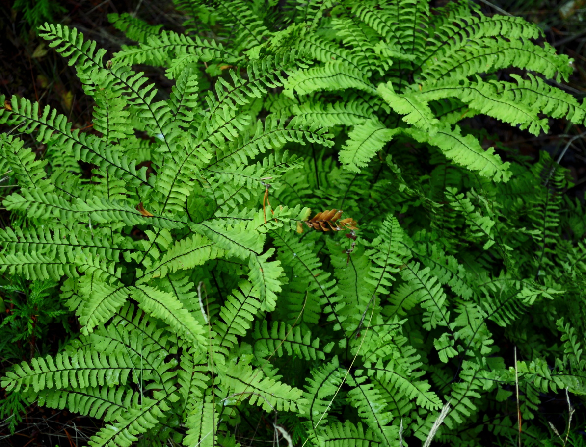 11 Maidenhair ferns on Cypress Island.JPG
