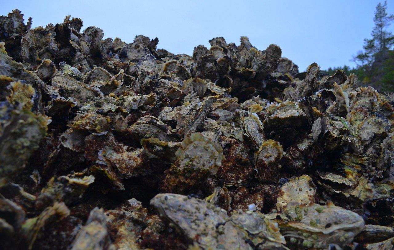 12 Curme Island oysters.jpg
