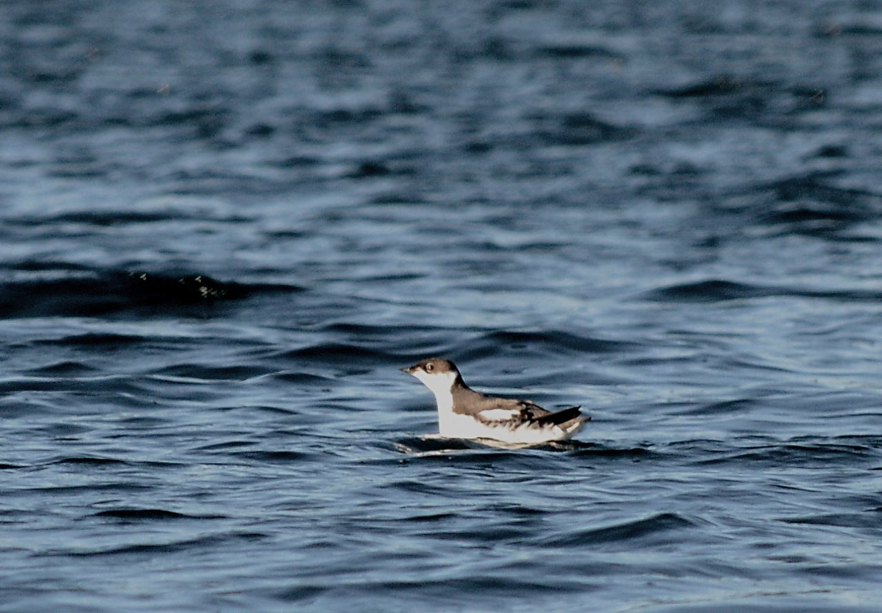12 Marbled murrelet.JPG