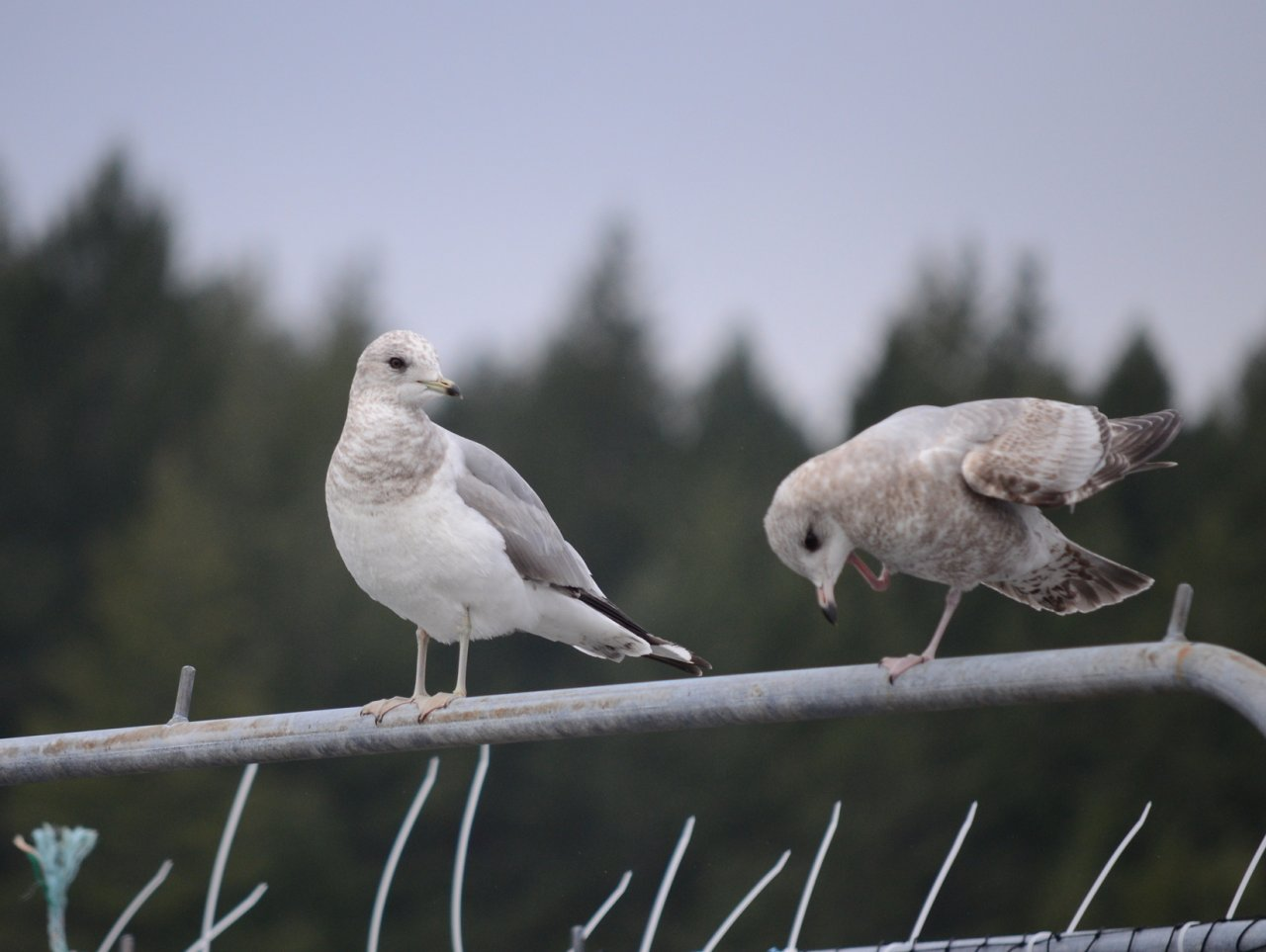 13 Ring-billed gulls.JPG