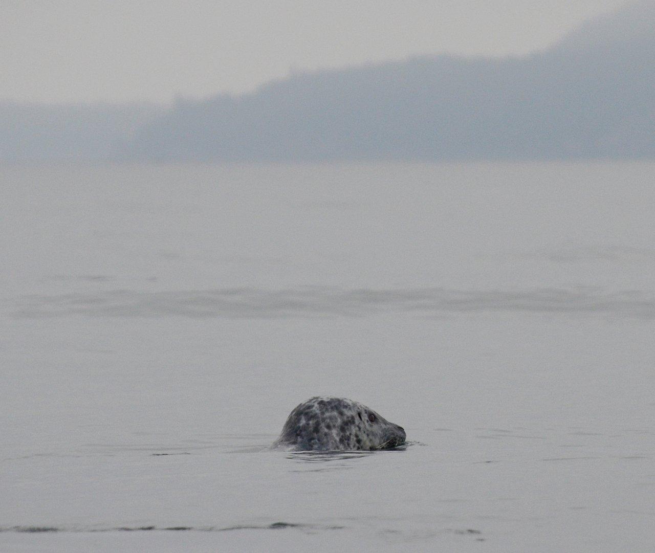 15 Harbor seal Haro Strait.JPG