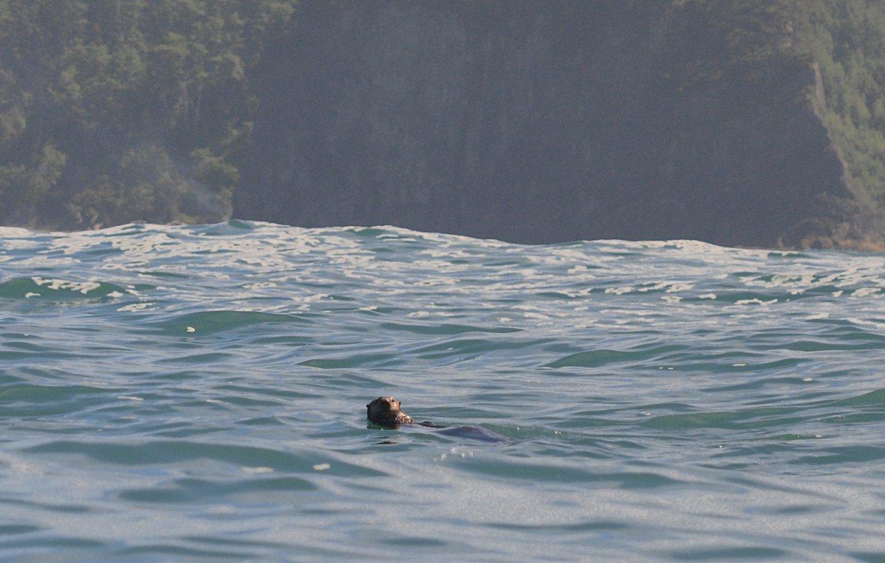 15 Sea otter at Alexander Island.JPG