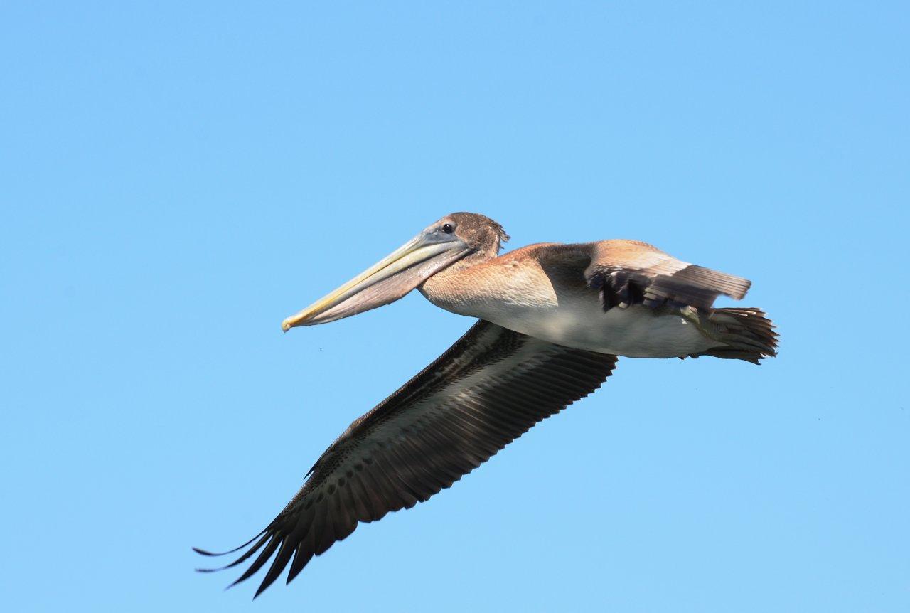 22 Brown pelican.JPG
