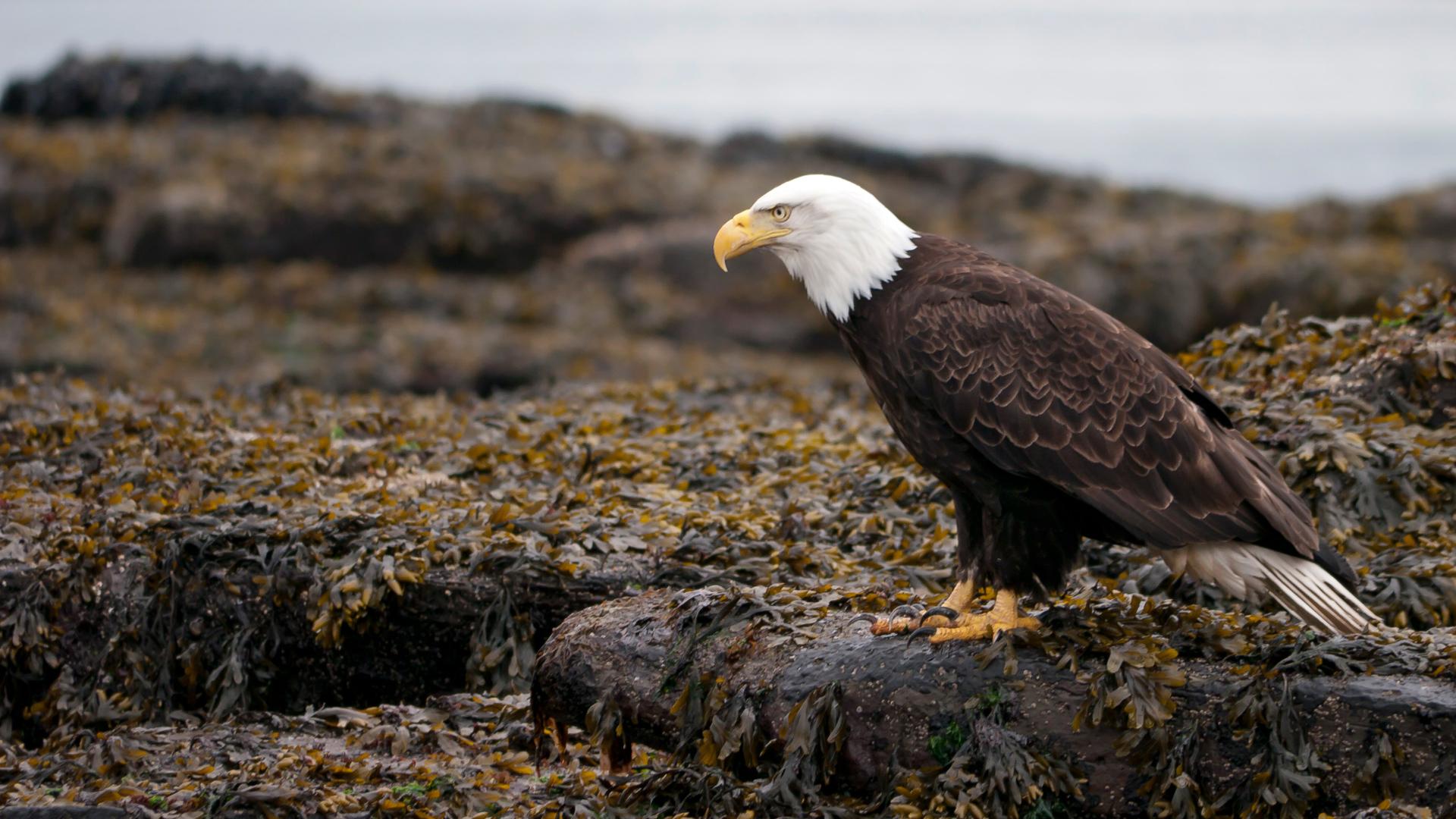 bald-eagle-portland-island-02-1920w.jpg