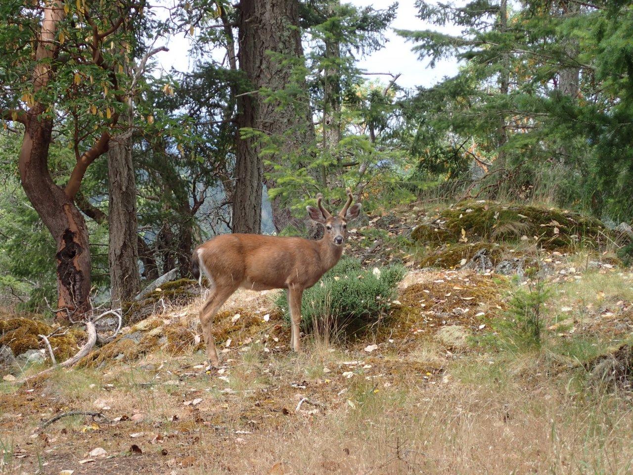 Deer on Pender.jpg