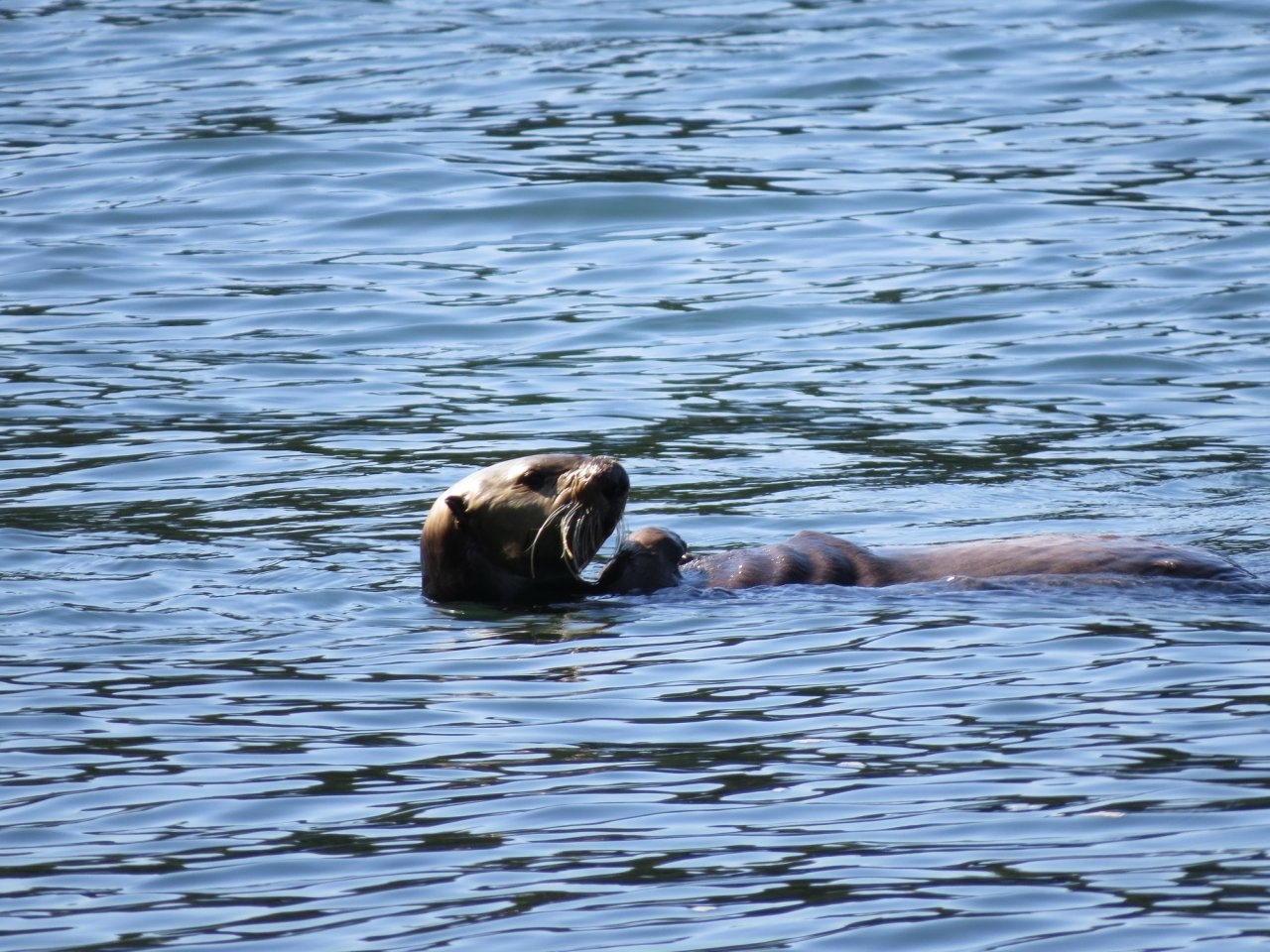 Sea Otter 1.jpg