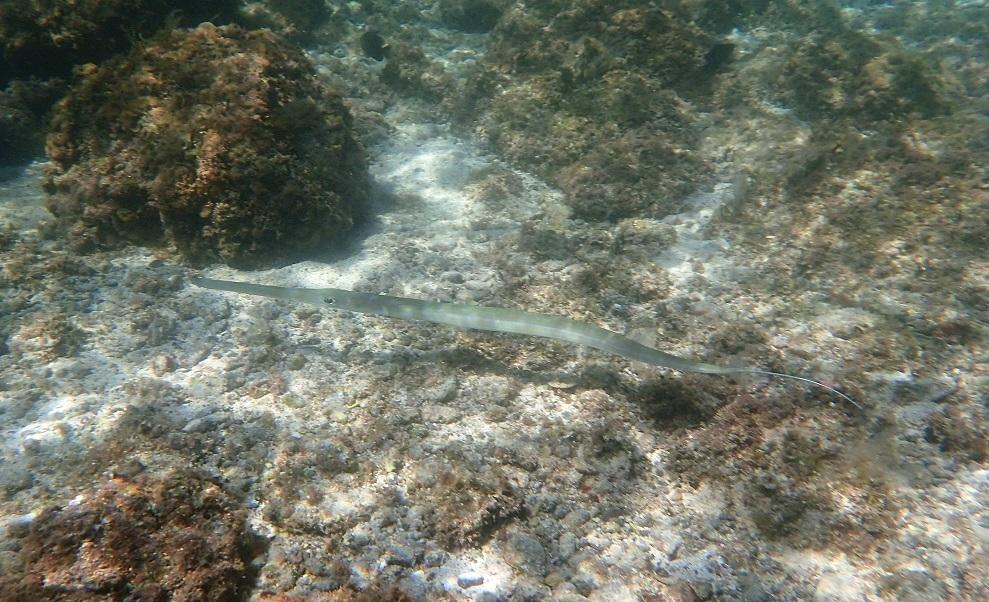 snorkeling-clarinetfish.JPG