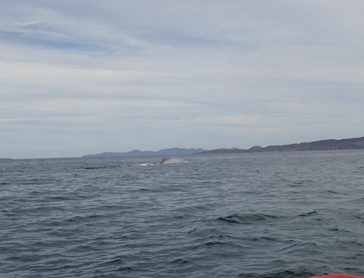 whales-bluewhale.JPG
