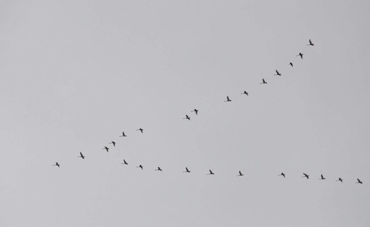 02 Trumpeter swans.JPG
