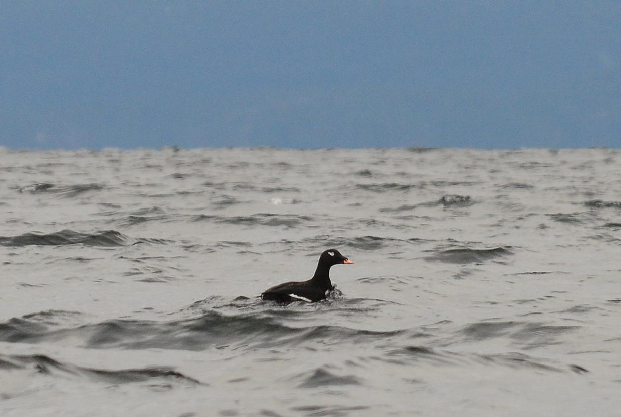04 White-winged scoter Malaspina Strait.JPG