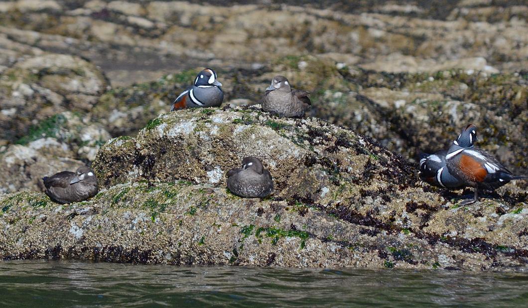 05 Harlequin ducks Beans Point Bainbridge Island.JPG
