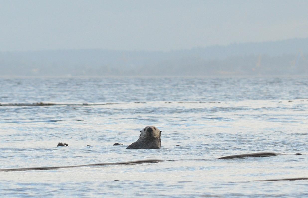 05 Sea otter at Race Rocks.JPG