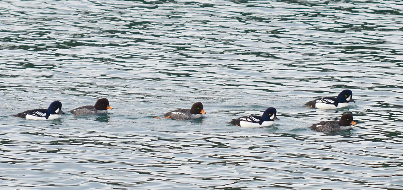 06 Barrows goldeneyes at Blind Island.JPG