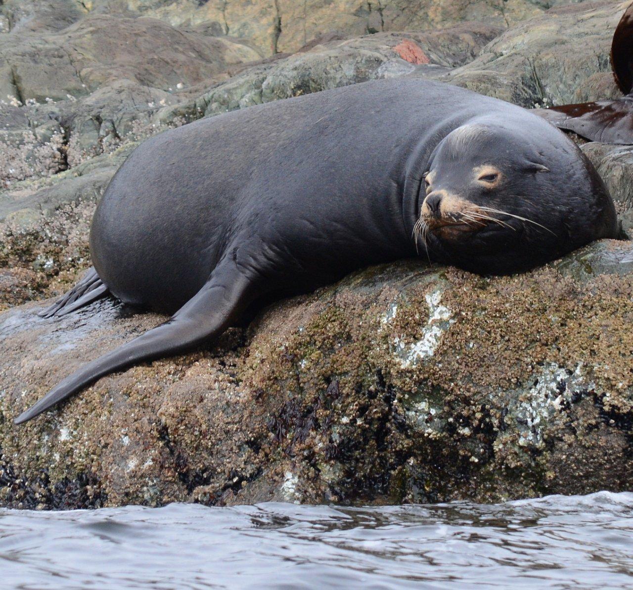 07 California sea lion at Upwood Point.JPG