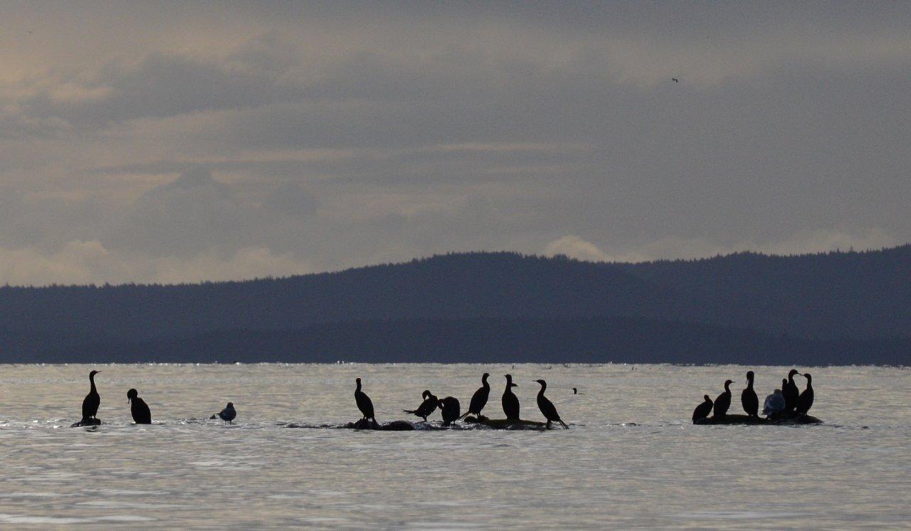 08 Cormorants at Arbutus Point.JPG