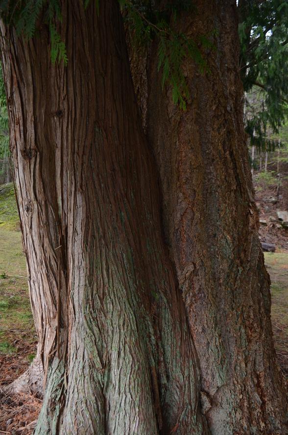 15 Western redcedar conjoined with Douglas-fir.JPG