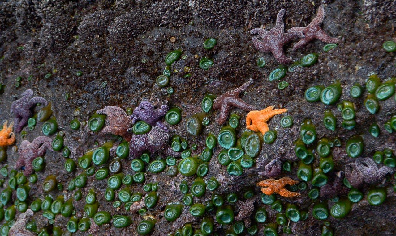 16 Sea stars and anemones at Cascade Head.JPG