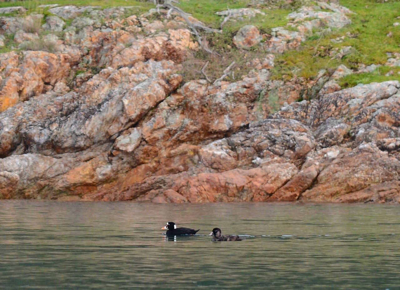 16 Surf scoters at Jones Island.JPG